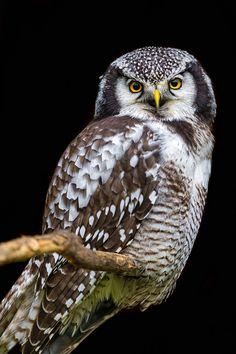 Perched hawk owl by Tambako the Jaguar