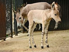 Tohoto hřebečka osla somálského, kterého málem utratili, odchovala adoptivní…