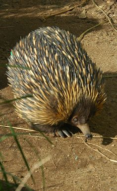 Click here for information about this Australian Echidna photo. You can buy handmade greeting cards featuring this photo for $4.50 delivered. www.theshortcollection.com.au/Australian-Animals