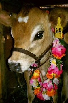Miniature jersey cow - I totally want one so I can have my own healthy milk! Maybe some day!