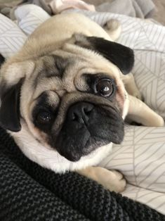 Pictures Of Pug Puppies, Cute Pug Pictures, Pug Photos, Brindle Pug, Teacup Pug, White Pug, Pug Cartoon, Baby Pugs, Pugs And Kisses