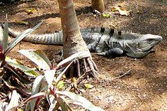 One of the most common animal in Cancun and the Riviera Maya! Iguana! #cancun tours activities #cancun mexico tours #things do cancun