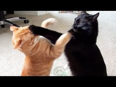 EPIC Cat Fight Compilation! -  #animals #animal #pet #cat #cats #cute #pets #animales #tagsforlikes #catlover #funnycats Cole VS Marmalade! … Marmalade was recently diagnosed with cancer, Marm also tested positive for FIV, which is the likely cause that he became sick so early on in life. Obviously this has been a difficult... - #Cats