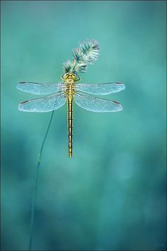 Yellow dragonfly suspended in a haze of aqua. Beautiful Bugs, Beautiful Butterflies, Beautiful Dragon, Shades Of Turquoise, Shades Of Blue, Teal Blue, Green Aqua, Turquoise Color, Yellow Black