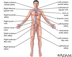 the circulatory system and the lymphatic system essay The lymphatic system is a subsystem of the circulatory system (define all the components of the circulatory system), however, unlike the blood, the lymph only flows in one direction (zimmerman, 2013).
