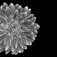 black and white card design with drawing of dahlia flower. Olesya Karakotsya