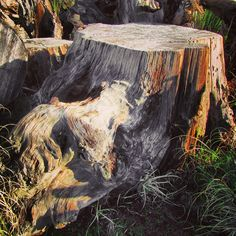 Ancient Stump. A 40,000+ year-old kauri stump pulled out of a peat swamp from the end of the last ice age in northern Aotearoa.