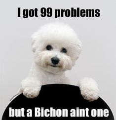 11 Fluffy Facts About the Bichon Frise (Mental Floss). Thank you Hetalia for making me search this Cute Puppies, Dogs And Puppies, Doggies, Poodle, Animals And Pets, Cute Animals, Jiff Pom, Yorkshire Terrier, Bichon Dog