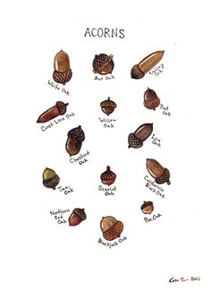 Autumn Equinox: Acorns Field Guide Chart, by Kate Dolamore Art. For our outdoors field guide Acorn Crafts, Fall Crafts, Thanksgiving Crafts, Art And Illustration, Illustrations, Illustration Animals, Nature Prints, Art Prints, Oak Tree Tattoo