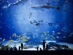 one of the most awesome aquariums EVER...look how small the people are cpmpared to the whale sharks.