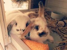 Kaninchen | Zwergwidder | Babys | sweeties