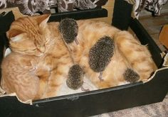 Sonya the caring mother cat has become the surrogate mother to four orphaned baby hedgehogs. OMG this is one of the cutest things EVER!