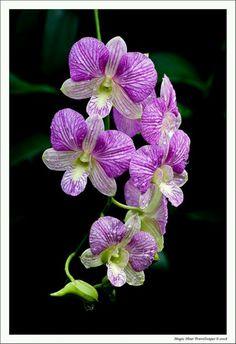 Orchidee - Sehnsucht, Leidenschaft, Fruchtbarkeit und Hingabe, Schönheit und Reichtum