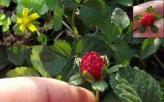 Strawberry Indian Mock False Berry Potentilla Duchesnea Indica Seeds
