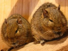 Degus doing what degus do . Animals And Pets, Cute Animals, Degu, Cats Eye Stone, Gerbil, Animal 2, Cat Sitting, Rodents, Exotic Pets