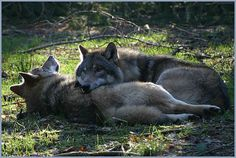 Wolf Mates Relaxing in a Spot of Sun.