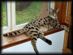 Savannah Cat... I wants!