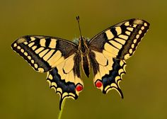 Koninginnepage - Fotograaf: ruurdvisser mooie open vleugels