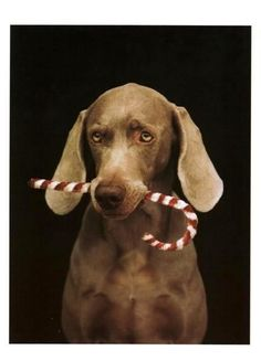 DOG LOVERS! WILLIAM WEGMAN WEIMARANER CHRISTMAS CARD ASSORTMENT 4