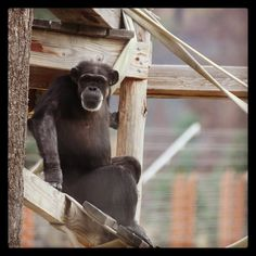 Day 74 - Annie #chimpanzee taking in the view. #100happydays #chimpsanctuarynw