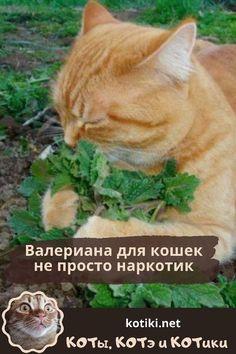 Валериана для кошек не просто наркотик — КОТы, КОТэ и КОТики Dog Cat, Cats, Animals, Gatos, Animales, Animaux, Animal, Cat, Animais