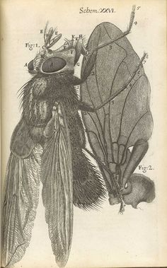 No Brash Festivity, The Fly from Robert Hooke's Micrographia