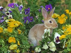 Mini Rex Rabbit amongst pansies