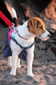 "Taking my Jack Russell Terrier ""Luna"" for her sunset beach walk in her Denim dress ! ~ ♥"