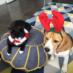 Christmas Beagle and cat
