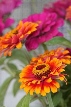 Orange and Fuchsia Pink Zinnia - Zinnia elegans 'Zowie' Zinnia Garden, Garden Plants, Orange Flowers, Beautiful Flowers, Zinnia Elegans, Flower Farm, Belleza Natural, Flower Power, Perennials