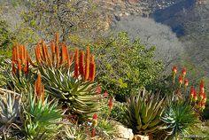 Aloe ferox (The Cape Aloe, Bitteraalwyn or Karoo-aalwyn) flowers (Left) and Aloe arborescens (The Krantz Aloe or Kransaalwyn) flowers (Right), South Africa, Winter, July