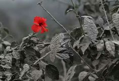 A red hibiscus flower blossomed after a volcanic eruption in Indonesia : The flower blossomed right after the ash has settled down. The picture was probably taken before dark or in a cloudy day, as this would explain the gray sky. The photo reminds us that nature always has the ability to recover after catastrophes, and that life endures even in the harshest conditions.