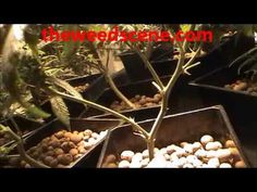 how to clean and trim marijuana plants to create large cola buds