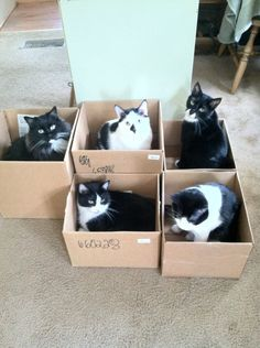 The cat traps are working. Crazy Cat Lady, Crazy Cats, Cat Traps, Funny Cats, Cats Humor, Cat Memes, White Cats, Cool Pets, Cats And Kittens