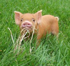 allthingspiggly:  Kune Kune Pig