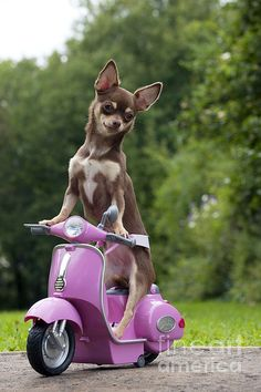 Chihuahua on a scooter.