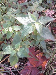 Stinging Nettle-Non-GMO Organic Heirloom Herb by organicherbals