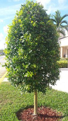 Dahoon Holly tree, ornamental trim style, www.universaldevgroup ...