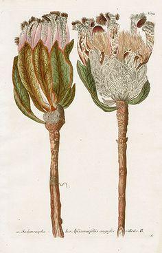 Protea Scolymocephala Johann Weinmann's Phytanthoza Iconographia 1737