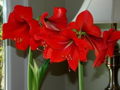 The amaryllis (Hippeastrum spp.) is a large, bold flowering bulb that can be grown by even the blackest of thumbs. They are tropical bulbs and on the Prairies are generally purchased in the fall fo. Red Christmas Flower, Christmas Bulbs, Amaryllis Bulbs, Parts Of A Flower, Bulb Flowers, Winter Beauty, Bloom, Tropical, Classic