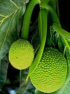 Buen Pan o Breadfruit