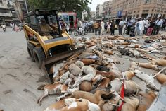 CRAPISTAN: Muslims are poisoning hundreds of stray dogs in the streets – BARE NAKED ISLAM