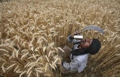 A labourer drinks water while harvesting wheat crop at a field in Jhanpur village of the northern Indian state of Punjab, April 18, 2012.   REUTERS/Ajay Verma