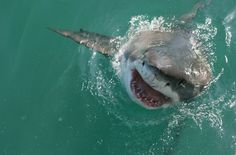 Getting real with great white sharks (article) Would you get into a steel cage surrounded by sharks?