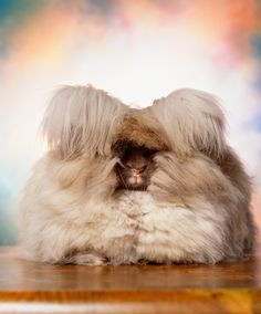 The New York Times Magazine sent the artist Andres Serrano to photograph Angora rabbits at a National Angora Show, the Westminster for Angoras, held in a pole barn in Palmyra, N.Y. (Photo: Andres Serrano for The New York Times)