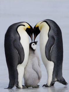 Emperor Penguin Chick and Adulta, Snow Hill Island, Weddell Sea, Antarctica, Polar Regions Photographic Print