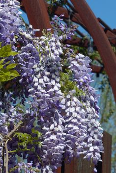 The Chinese Wisteria [Wisteria sinensis] in the Center for Desert Living Trail.