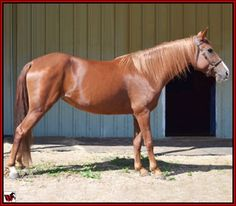 For Sale - SUN'S RADIENCE #20511311- 6 year old, 15 hand chestnut Tennessee Walking Horse mare - daughter of Flamingo Honeymoon Sun - professionally trained and now trail ridden. Could make a nice Country Show Pleasure show horse. Has a ground covering walk with nice head shake. One owner, kindly trained, no past injuries, illnesses, scars, or bad habits. Easy to handle and easy to keep. Foaled 10/04/2005. Located in Texas. Priced at $4,000. http://www.walkerswest.com/Stalls/SunsRadience.htm