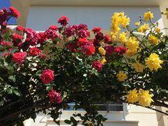 """Birbirini sarmış GS renklerindeki sarmaşık güllerim son yıllarda çok mahzunlar; kolay mı yıllarca bugünler için serpilip büyümüşler ama Cimbom tam tersine her sene daha kötüye gitmiş...hepsi bir ağızda sevilen klasik parçayı dillendirseler çok değil """" duydumki unutmuşsun çiçeklerimin rengini """" 🎵🎶🎵"""