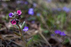 Keväänkukka - imikkä keväänkukka kevät kukka kukat luonnonkukka pinkki sininen keväänvärit kevätsävyt routaruusu